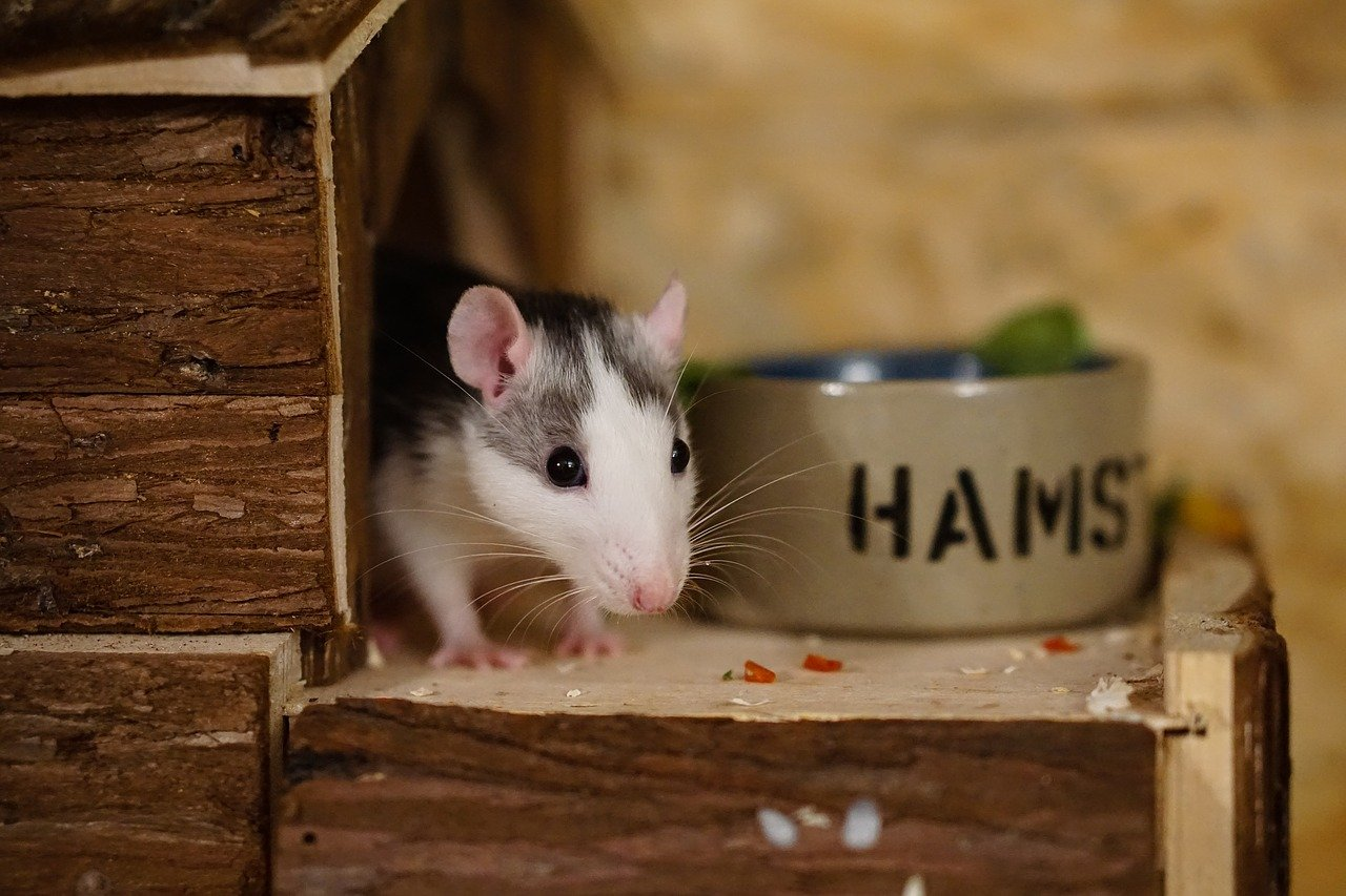 Having A Rats as Pets? 10 Facts You Need to Know before getting one