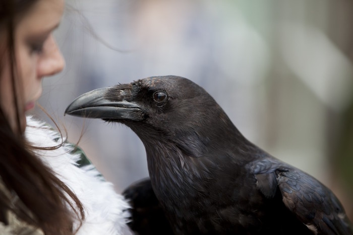 Are ravens and crows the same? 10 Things You Need To Know