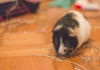 8 things to feed your guinea pig when guinea pig food is not available