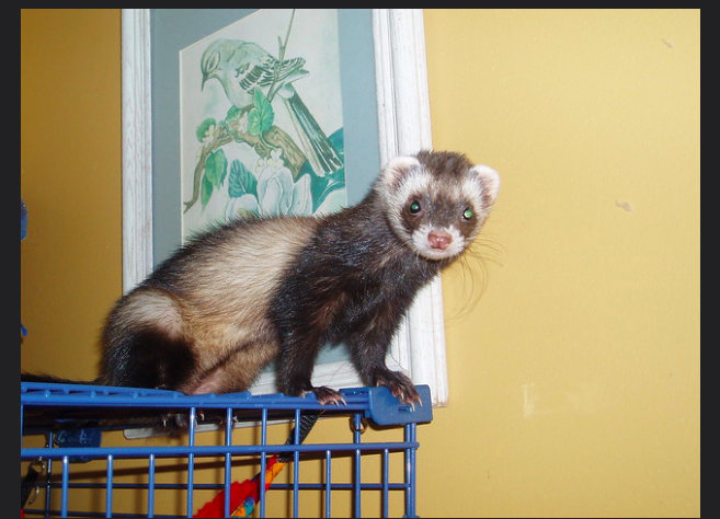 What are the pros and cons of keeping a ferret?