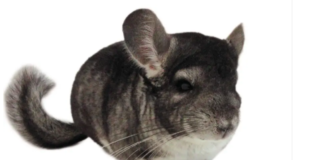 Are chinchillas easy to take care of? 10 Things to know